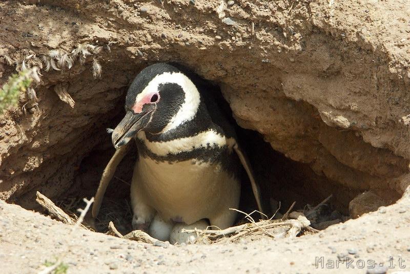 Pinguino di Magellano a Punta Tombo