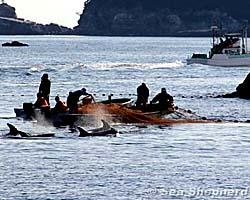 Uccisione di delfini in giappone