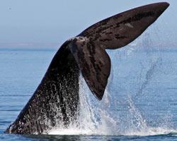 La pinna di una balena