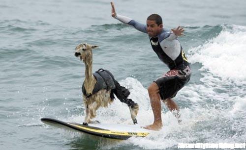 PeruPisco-lalpaca-che-fa-surf