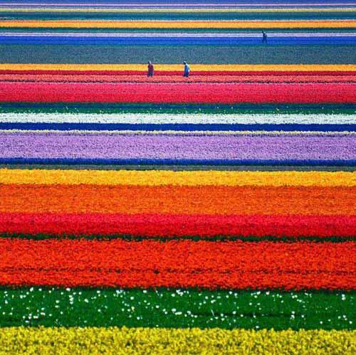 campi-di-tulipani-olanda