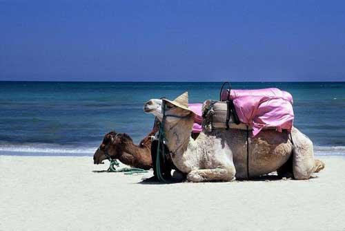 tunisiacamelli
