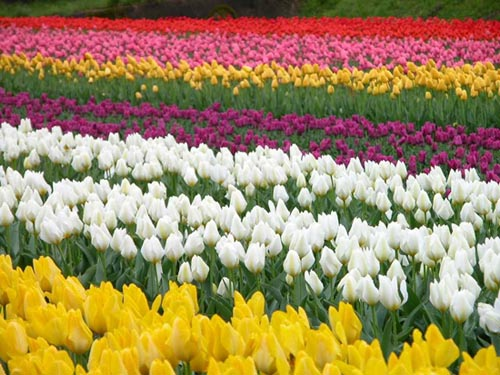 tulipani 4