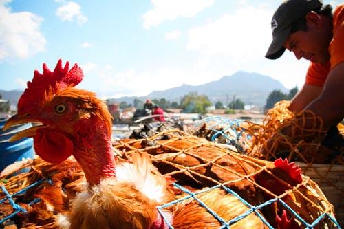 traporto bus pollo