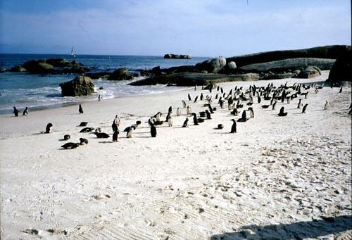 cape town -pinguini-di-simons-town 320111