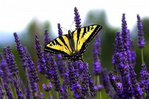 francia lavanda farfalla