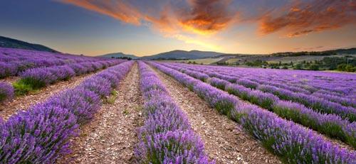 francia paesaggi-lavanda