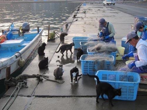gatti pescatori-e-gatti-a-tashirojima