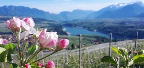 fioritura-meli-in-fiore-i-love-val-di-non-maria-flor-720x340
